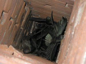 Jackdaws in a chimney